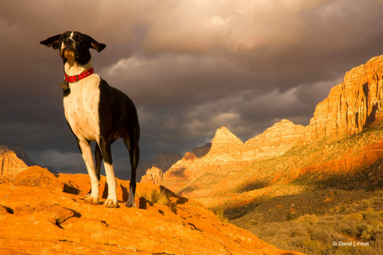 Dog overlooking Zion Canyon