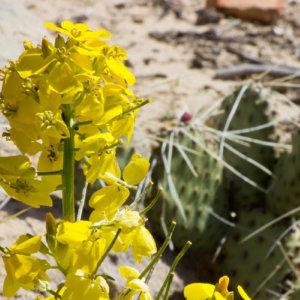 Bláthanna fiáine buí le cactus