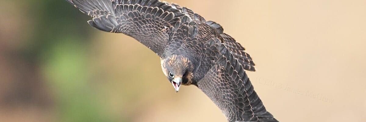 paragrine flying