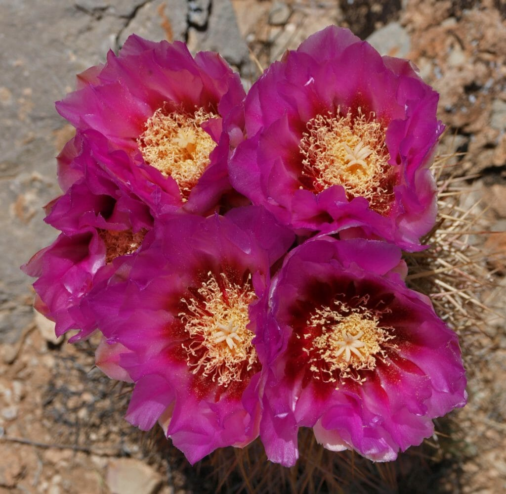 flowers on cactus