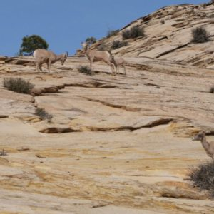 Big Horn Schafe am Berg