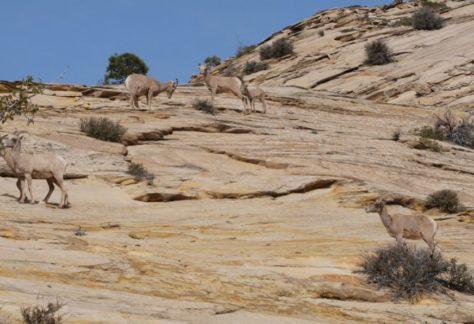 nagy kürt juh a hegyen
