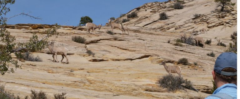 big horn sheep on mountain